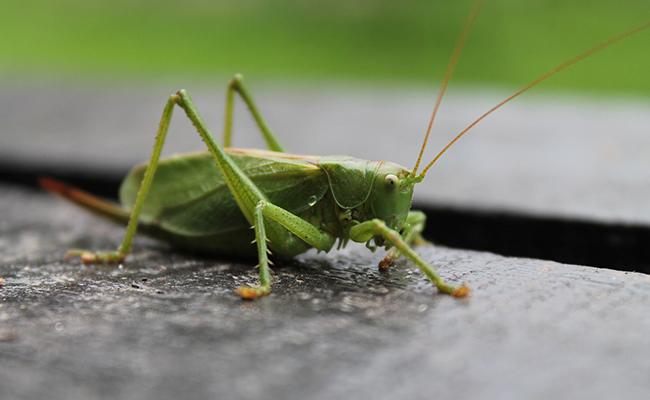 les insectes Tettig10