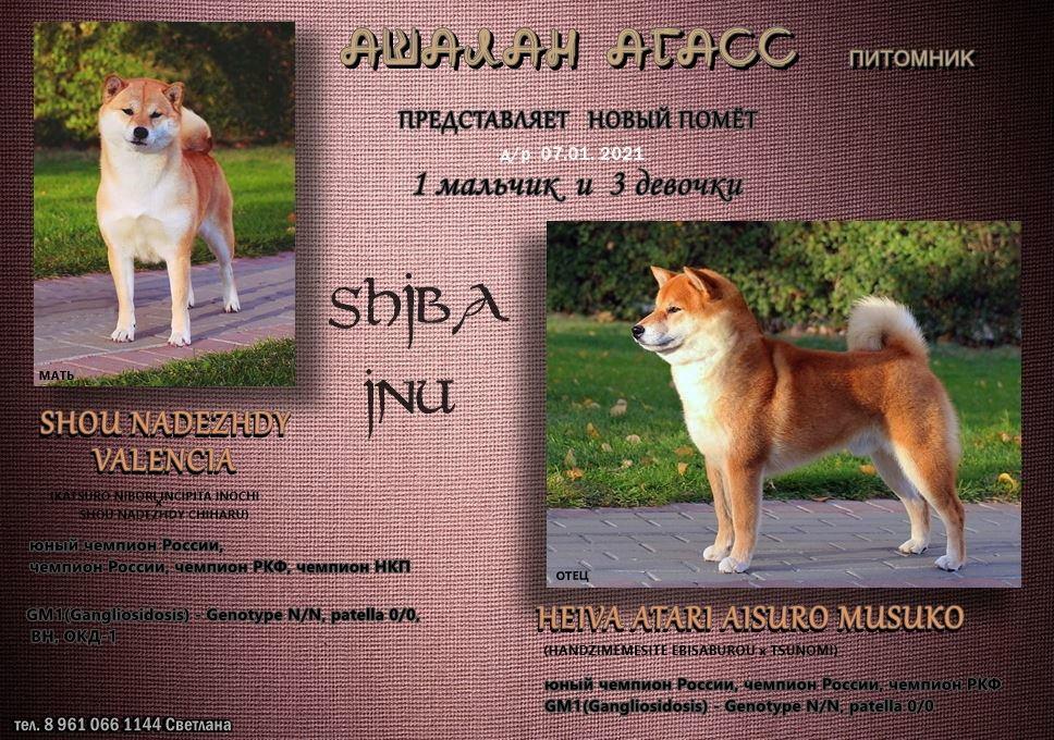 Питомник АШАЛАН АГАСС предлагает щенков СИБА 13931310