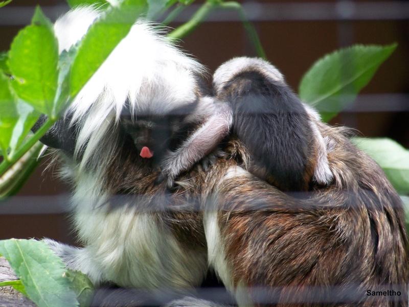 le Tamarin pinché (Saguinus oedipus). 100_2814