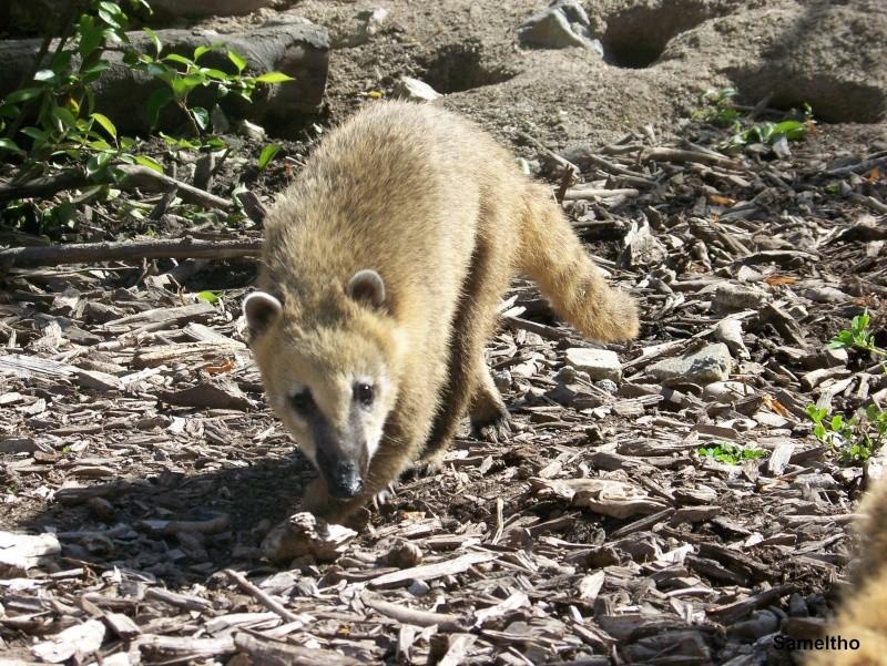 Le coati (Nasua nasua ) 100_2816