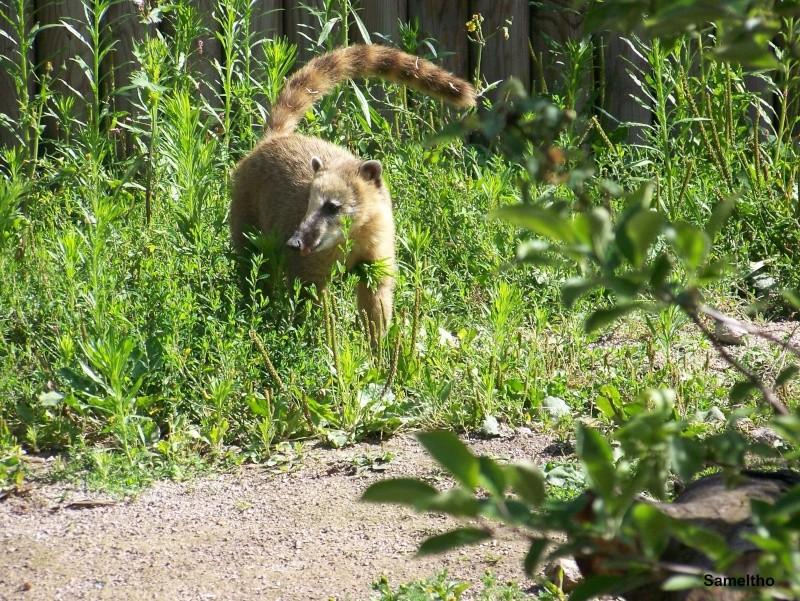 Le coati (Nasua nasua ) 100_2817