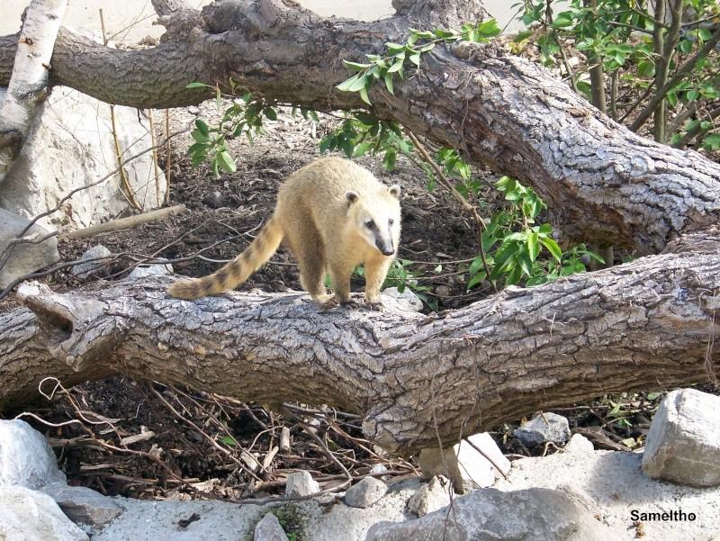 Le coati (Nasua nasua ) 100_2818