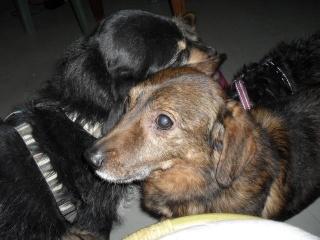POURQUOI, croisé basset de 11 ans Cani Sénior (Filleul de Patoune) 1tqpt10