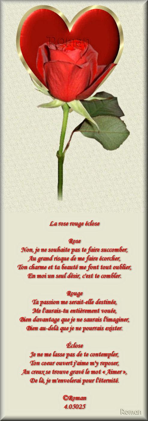 La rose rouge éclose La_ros12