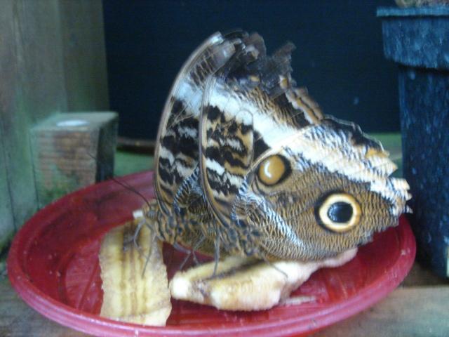 Papillons Dsc03111