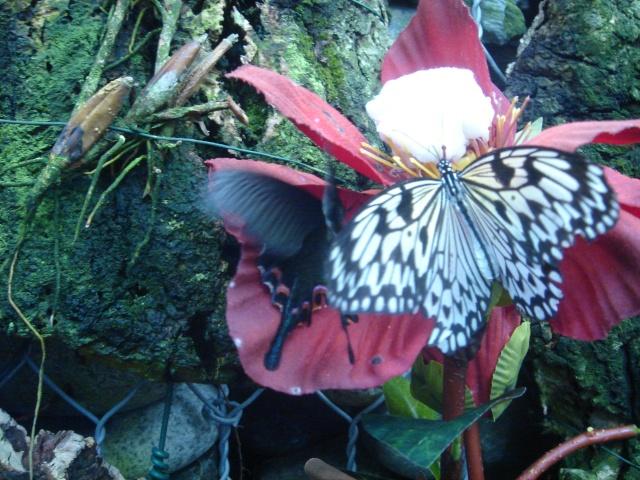 Papillons Dsc03112