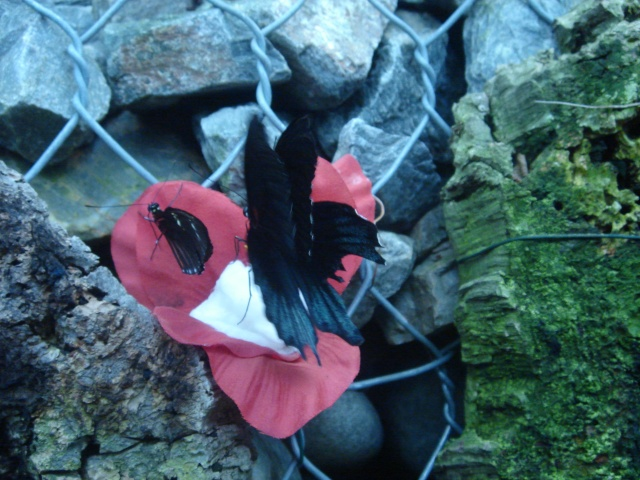 Papillons Dsc03113