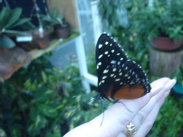 Papillons Dsc03116