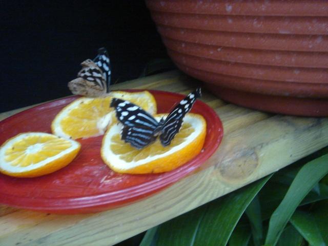 Papillons Dsc03117
