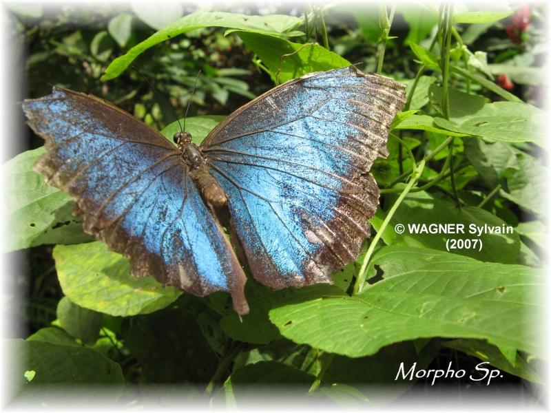 "Hexapodes divers ""Costa Rica"" Morpho10"