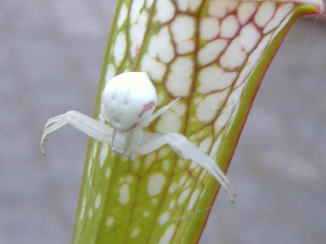 L'araignée cameleon L_arai10