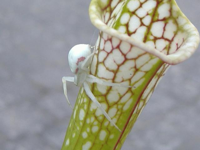 L'araignée cameleon L_arai11