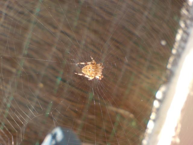 Araignée Dsc00010