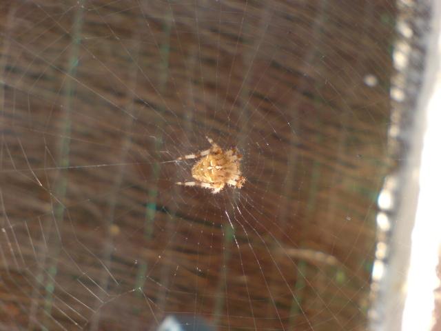 Araignée Dsc00011
