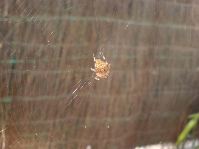 Araignée Dsc00012