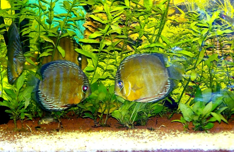 mes sauvages Discus12