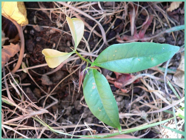 Spontanées marrantes de mon jardin : Litchi et Annone P1220811