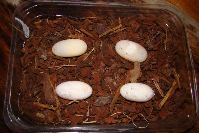 rhinoclemmys pulcherinna manni ! Dsc08210
