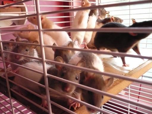 Bébés rats à placer Les_mo10