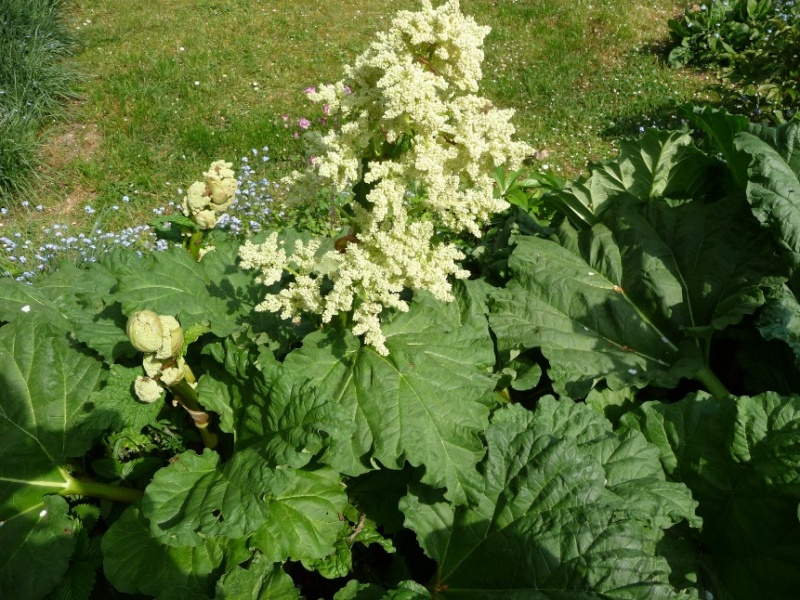 Ma rhubarbe est fleurie 2011-073