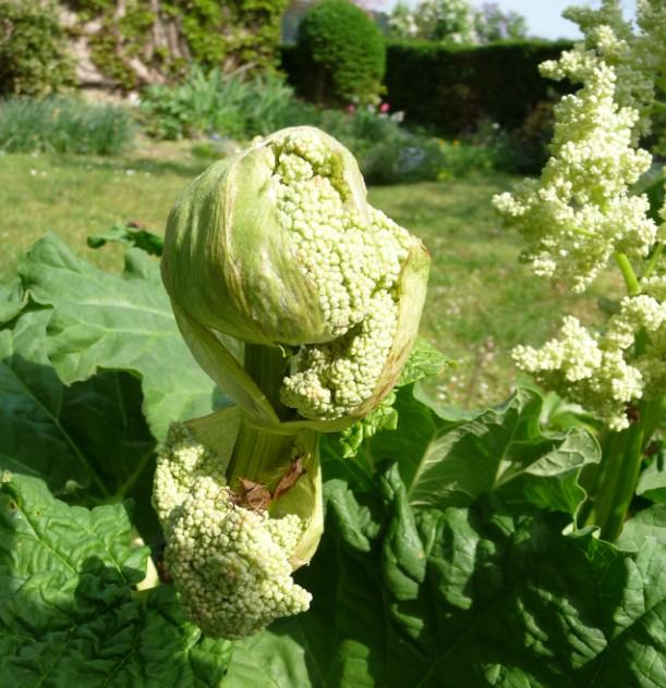Ma rhubarbe est fleurie 2011-075