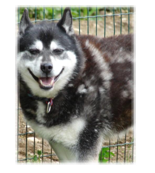 NYOUKI - femelle husky 10 ans - BELLEGARDE (01) Nyouki10
