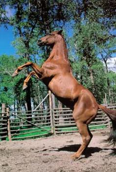 L'Homme qui murmurait a l'oreille des chevaux Cheval12