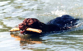 Le labrador (avec video et photos de Djuna) Labrad12