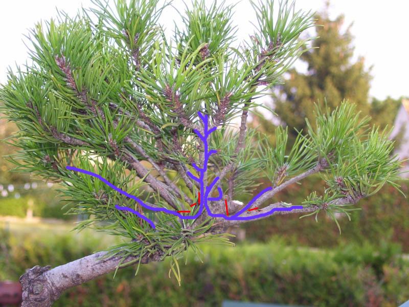Taille et travail sur les bourgeons d'un pin mugo Pinusm10