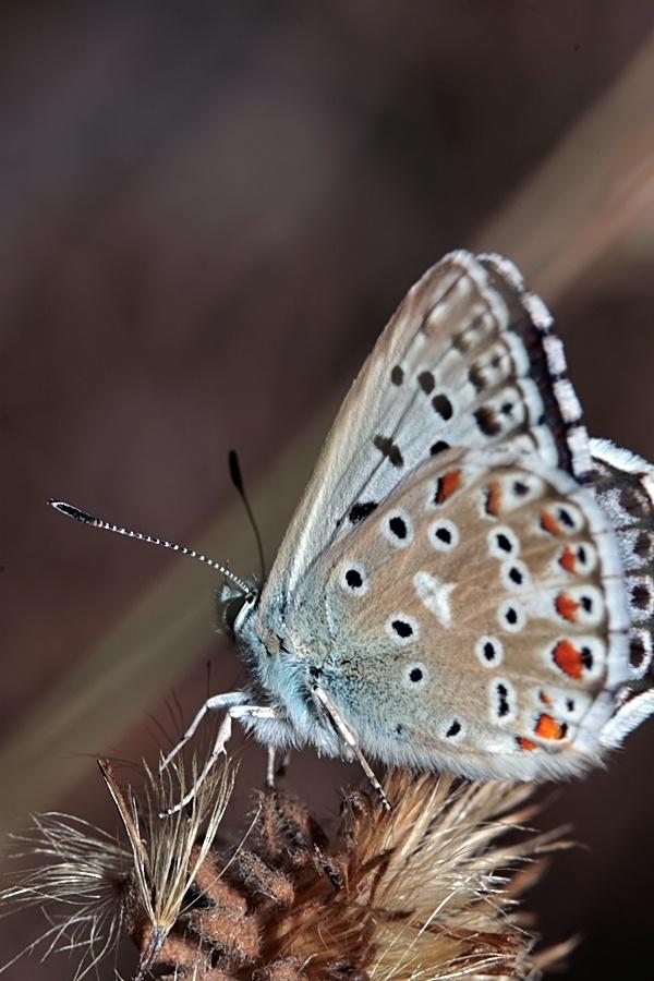 Azuré bleu céleste (Lysandra bellargus) Img_4310