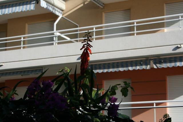 Un Aloe grimpant, savez vous que ça existe ? Aloe_c11