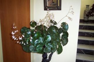 Les plantes que j'ai maintenant en intérieur, dans ma maison Begoni10