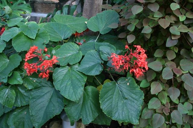 La Serre tropicale du Parc Phoenix de Nice Clerod14