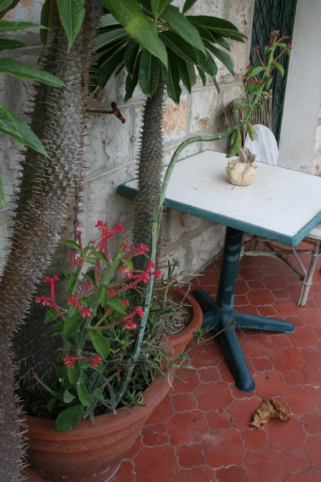 Monadenium cocineum, j'adore cette plante Monade12