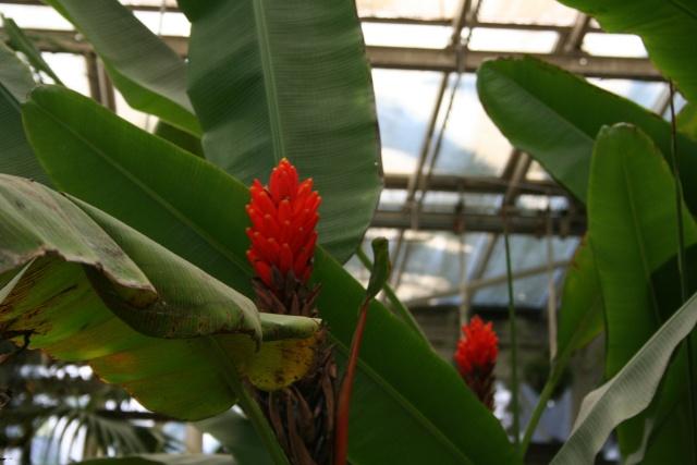 La Serre tropicale du Parc Phoenix de Nice Musa_u12