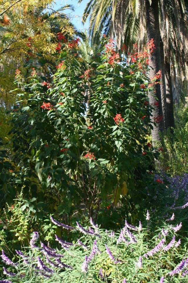 Sauge: une géante rouge Salvia13