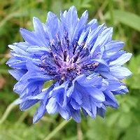 Les plantes sauvages. Bleuet10