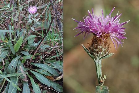 Les plantes sauvages. Centau10