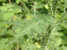 Les plantes sauvages. Chardo12