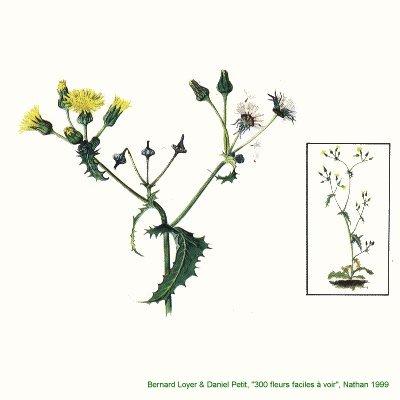 Les plantes sauvages. Laiter13