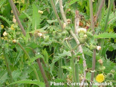 Les plantes sauvages. Laiter14