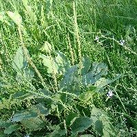 Les plantes sauvages. Planta10