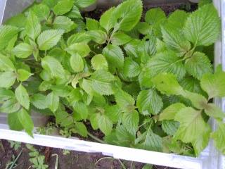 Mes cultures de plantes asiatiques Juille12
