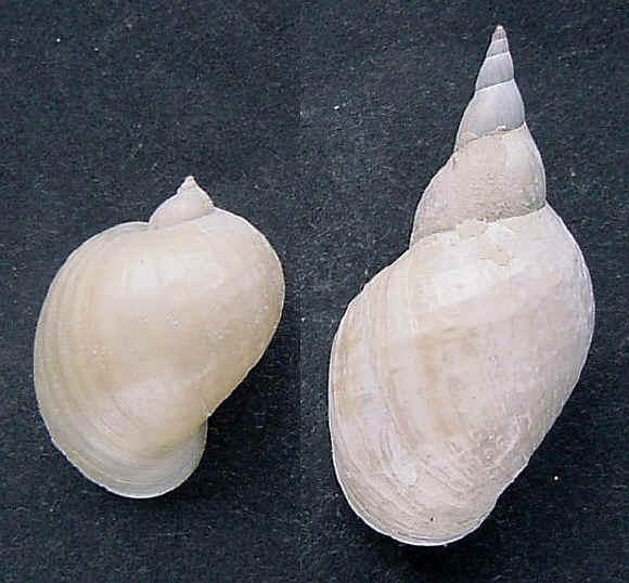 [résolu]Lymnaea stagnalis (L.1758), Radix auricularia (L.1758) Lymnee10