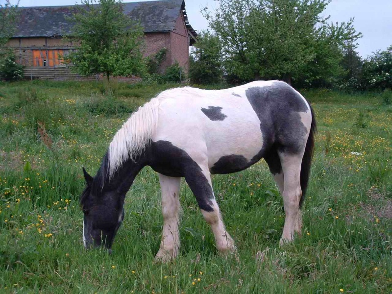 Photos de croisés Trait x Irish Cob ... Spirit10