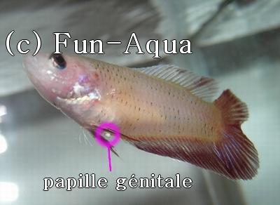 Papille génitale et femelle prête [PHOTOS] Papgen10