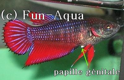 Papille génitale et femelle prête [PHOTOS] Papgen13