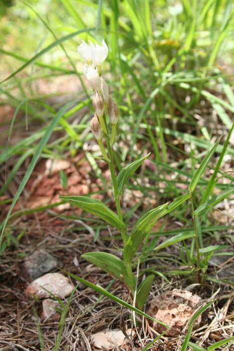 Orchidées de Chine Cephal14