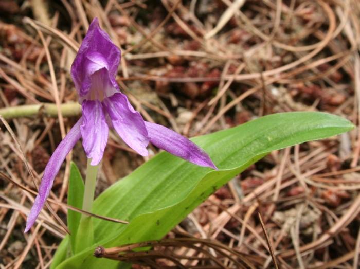 Orchidées de Chine Orchid13