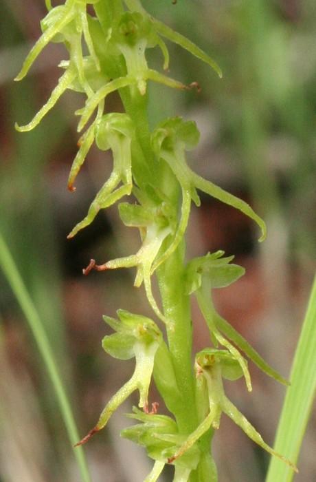 Orchidées de Chine Orchid16